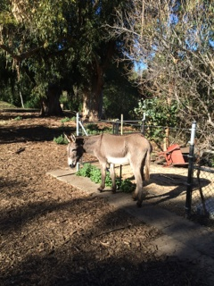 Donkeys in Barron Park Palo Alto